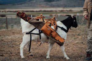 Goat caddies at work at Silvies Valley Ranch
